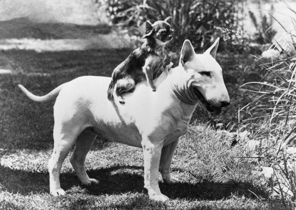 CHAMPION ABRAXAS ANTHEUS(Terrier) CHAMPION ROZAVEL GRAZIA The Chihuahua perches atop the bull terrier. Owned by Drummond-Dick. Date: 1971