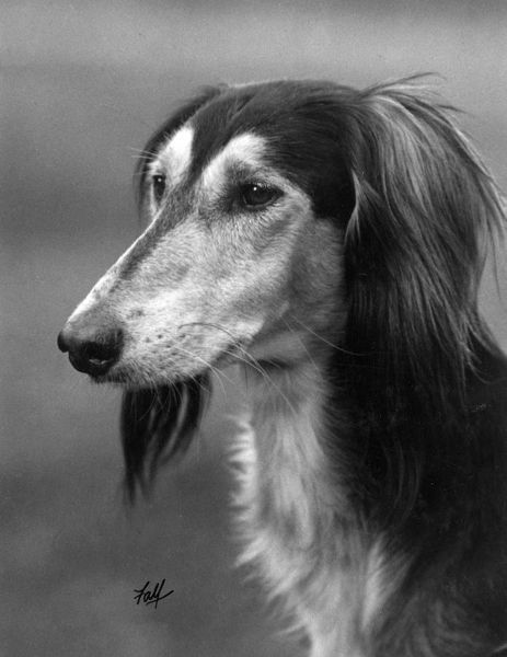 Ch. Sarona Gulshere - a Saluki owned by British Brigadier General F. F. Lance     1934