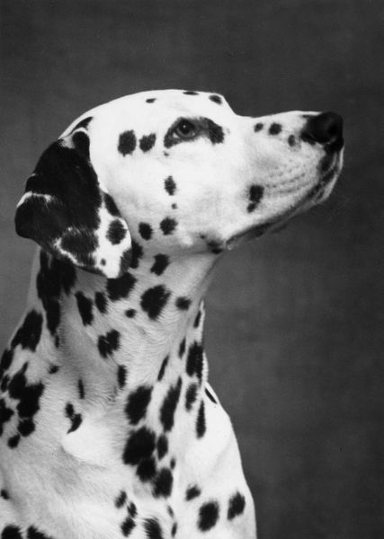Dalmatian/Head/1962. TANTIVVEY MARCO Head shot. Owned by Wetchford. Date: 1962