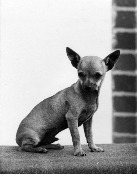 chihuahua dating site