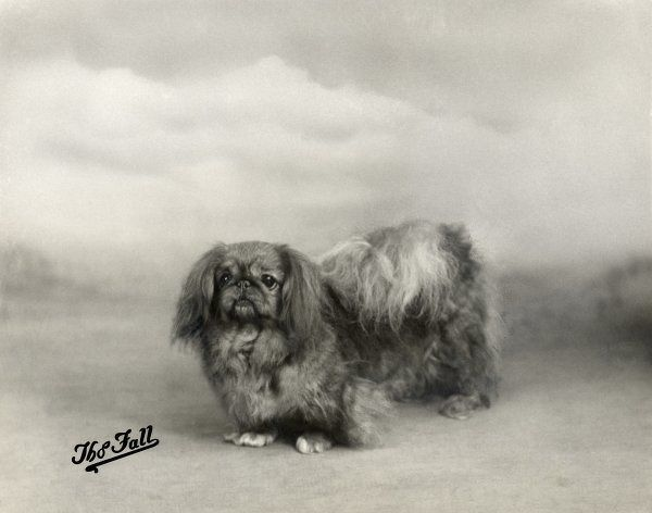 Fall/Pekingese/1938. Champion Wee-Dah of Fewling Owned by Elkan