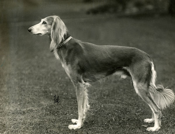 FALL/SALUKI/1933. CHAMPION ASWAN OF RURITANIA Owned by Miss Doxford