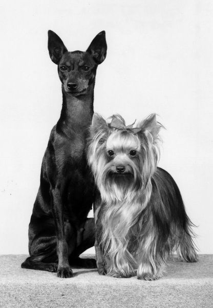 An English Toy Terrier and a Yorkshire Terrier pose together. Date: 1981