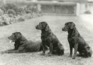 new images october/black labradors george v wolferton simon scrub